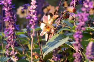 Abeille dans un massif de fleurs, Jardin Vauban